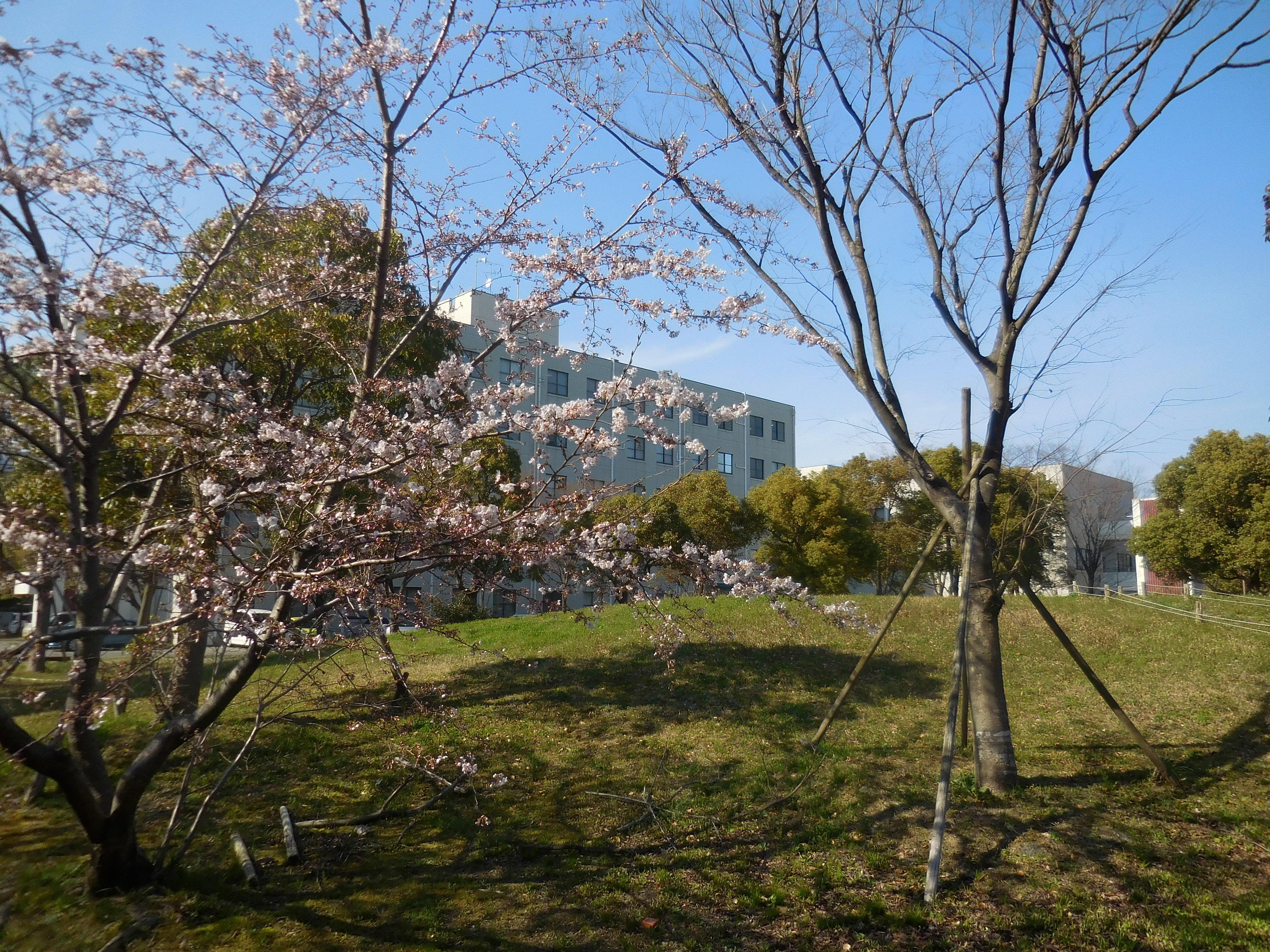 桜と人文校舎1